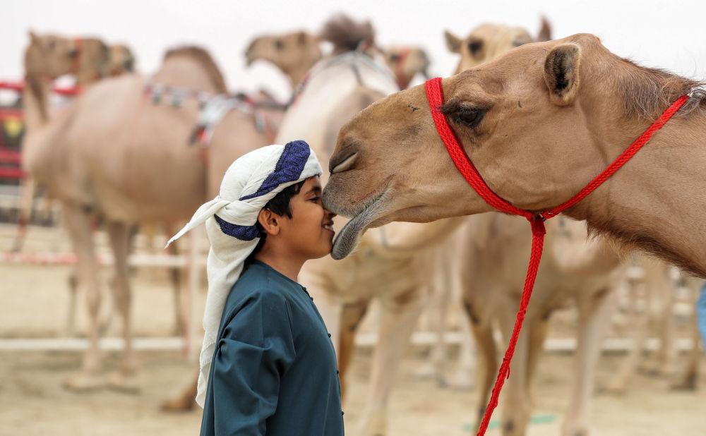 В Саудовской Аравии запретили пластические операции для верблюдов